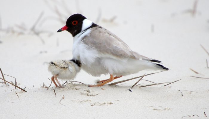 Hooded Plover - near Orford-CREDIT PAUL GRAY