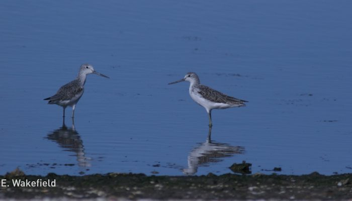 common-greenshank-orielton-25-aug-08els-031