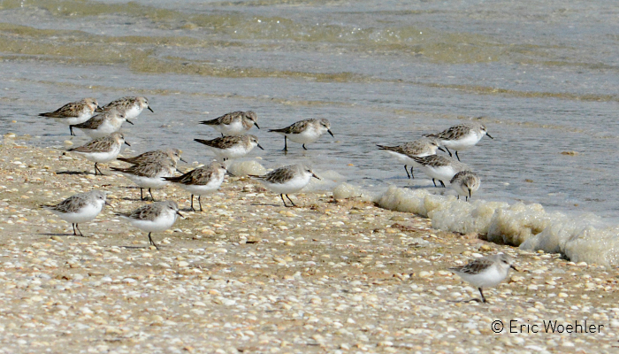 Red-necked Stint EW